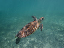 Tartaruga marinha Foto de Stock