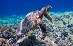 Tartaruga marinha em Gili Meno, Indonésia Imagens de Stock