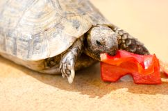 Tartaruga mediterrânea fotos de stock royalty free