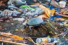 Tartaruga na água contaminada - Kochi, Índia Imagem de Stock Royalty Free