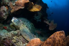 Tartaruga na caverna no recife. Indonésia Sulawesi fotografia de stock
