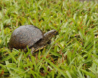 Tartaruga na grama Foto de Stock