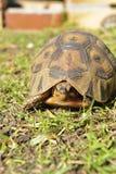 Tartaruga na grama Foto de Stock Royalty Free