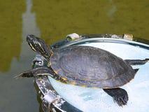 Tartaruga na lanterna Fotografia de Stock