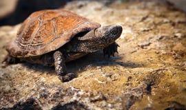 Tartaruga na pedra Fotografia de Stock Royalty Free