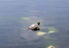 Tartaruga na pedra Foto de Stock