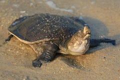 Tartaruga na praia foto de stock royalty free