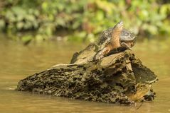 Tartaruga na rocha no rio fotografia de stock royalty free