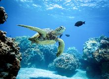 A tartaruga nada através de um recife fotografia de stock