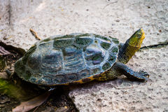 Tartaruga in natura Fotografie Stock