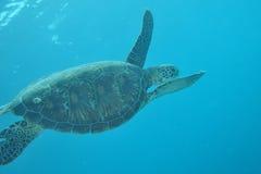 Tartaruga nei maldives Fotografia Stock Libera da Diritti
