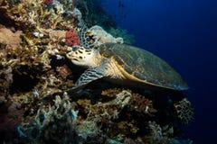 Tartaruga nel Mar Rosso Immagine Stock