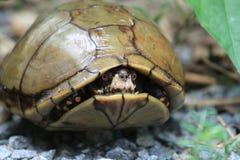 Tartaruga nelle coperture Immagine Stock Libera da Diritti