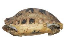 Tartaruga nelle coperture Fotografie Stock
