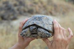 Tartaruga nelle mani Immagine Stock