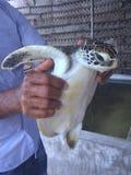 Tartaruga nelle mani di un'azienda agricola della tartaruga degli impiegati nello Sri Lanka Fotografia Stock