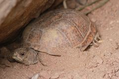 Tartaruga nello zoo di Phoenix Fotografie Stock