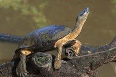 Tartaruga nera del fiume Immagine Stock