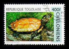 Tartaruga nero--breasted della foglia (spengleri) di Geoemyda, serie delle tartarughe, Fotografia Stock Libera da Diritti