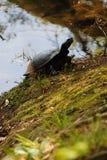 Tartaruga no ambiente natural Imagens de Stock