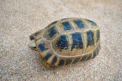 Tartaruga no assoalho Fotos de Stock