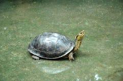 Tartaruga no assoalho molhado Foto de Stock Royalty Free