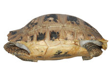 Tartaruga no escudo Fotos de Stock