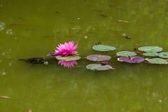 Tartaruga no lago Foto de Stock