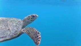 Tartaruga no mar video estoque