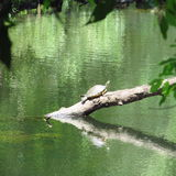Tartaruga no rio de Florida fotografia de stock