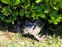Tartaruga no verde foto de stock