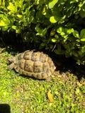 Tartaruga no verde fotos de stock