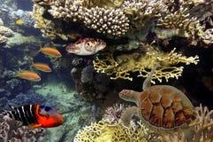 Tartaruga - o imbricata do Eretmochelys flutua sob a água Imagem de Stock Royalty Free