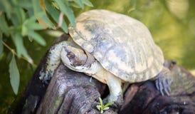 Tartaruga occidentale dello stagno (marmorata di Actinemys o marmorata di Emys) Fotografia Stock