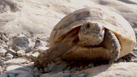 Tartaruga oltre all'angolo basso Il macro colpo di Forest Turtle con i semi parteggia stock footage