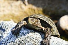 Tartaruga pacifica dello stagno fotografia stock libera da diritti