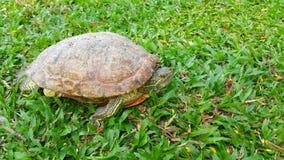 Tartaruga in parco Immagini Stock Libere da Diritti