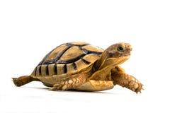 Tartaruga pequena Imagens de Stock Royalty Free