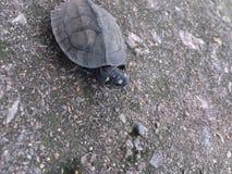 A tartaruga pequena Fotos de Stock