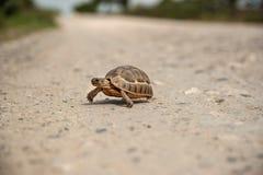 Tartaruga pequena que cruza uma estrada do cascalho Imagem de Stock