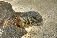 Tartaruga pigra sulla sabbia. immagine stock libera da diritti