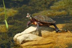 Tartaruga pintada de bocejo Imagens de Stock