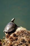 Tartaruga pintada empoleirada imagem de stock