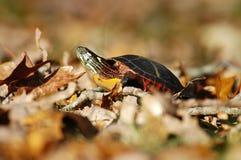 Tartaruga pintada nas folhas da queda Imagens de Stock