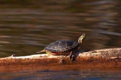 Tartaruga pintada selvagem que expore-se ao sol no registro Imagens de Stock