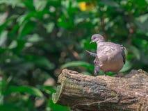Tartaruga-pomba oriental ( Streptopelia orientalis) empoleirar-se em um ramo com natureza verde espaço borrado do fundo e da cópi fotografia de stock