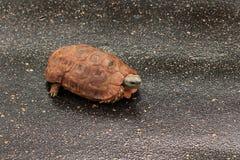 Tartaruga provvista di cardini Fotografia Stock Libera da Diritti