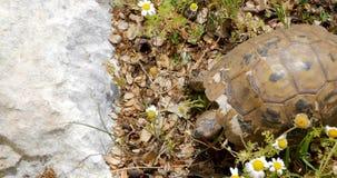Tartaruga que anda nas rochas vídeos de arquivo