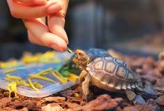 Tartaruga que come alguns vegetais Foto de Stock Royalty Free