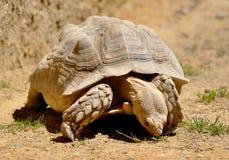 Tartaruga que come a grama Imagem de Stock Royalty Free